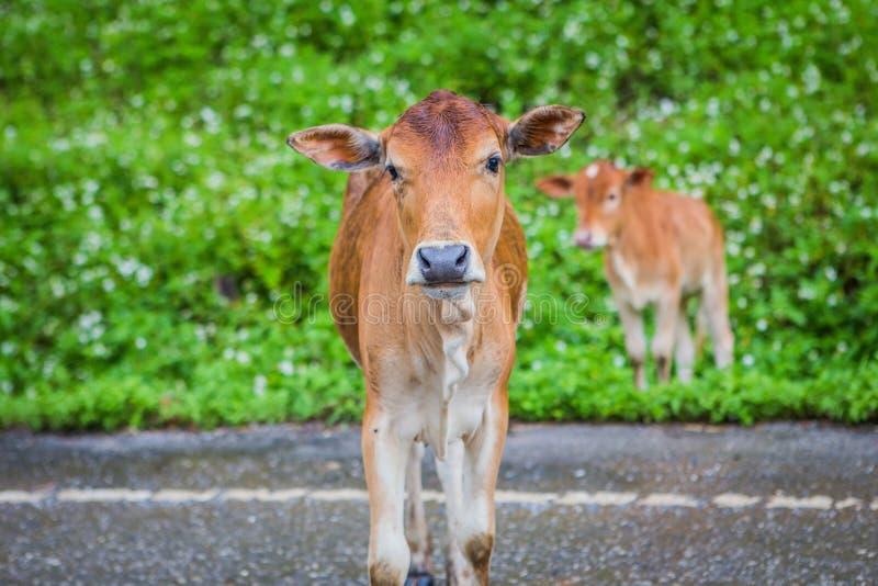 母亲母牛和她的小牛 库存照片