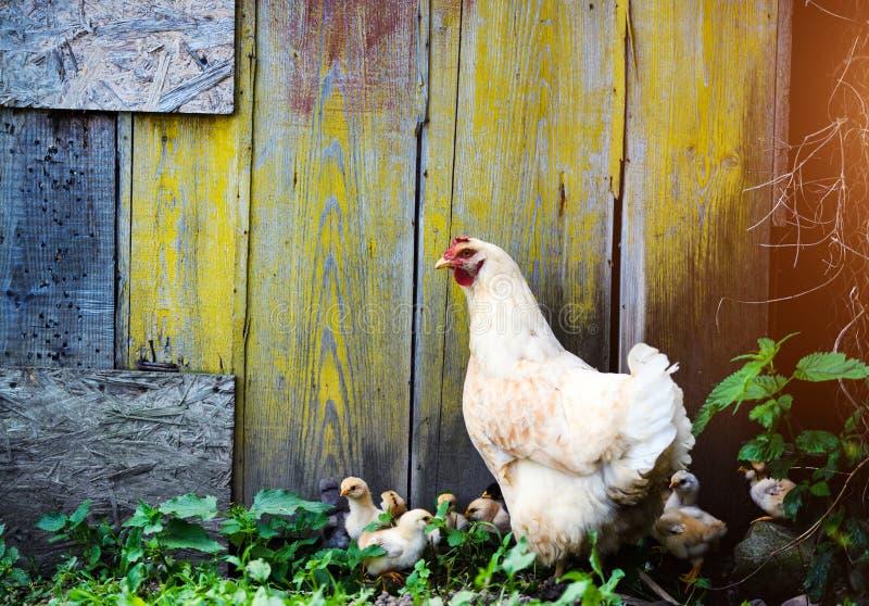 母亲母鸡和保护的小鸡 免版税图库摄影