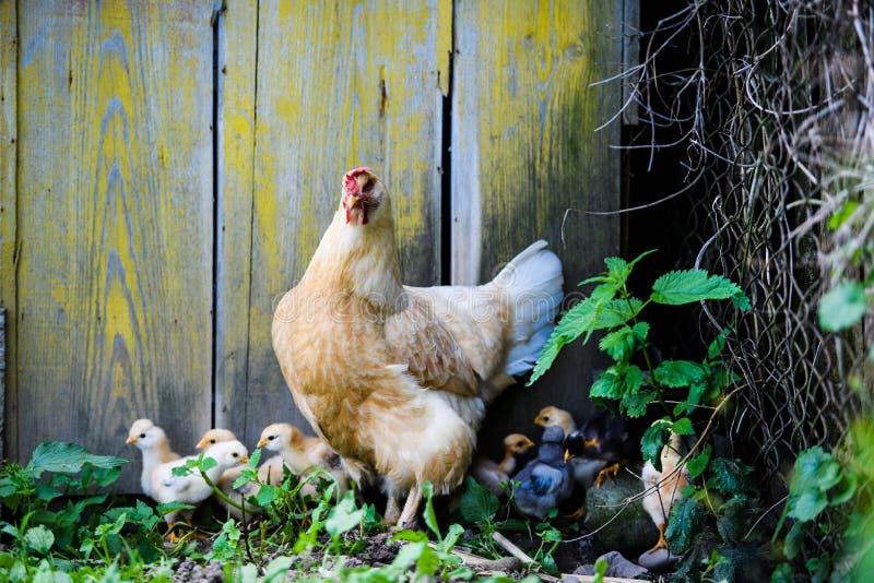 母亲母鸡和保护的小鸡 免版税库存图片