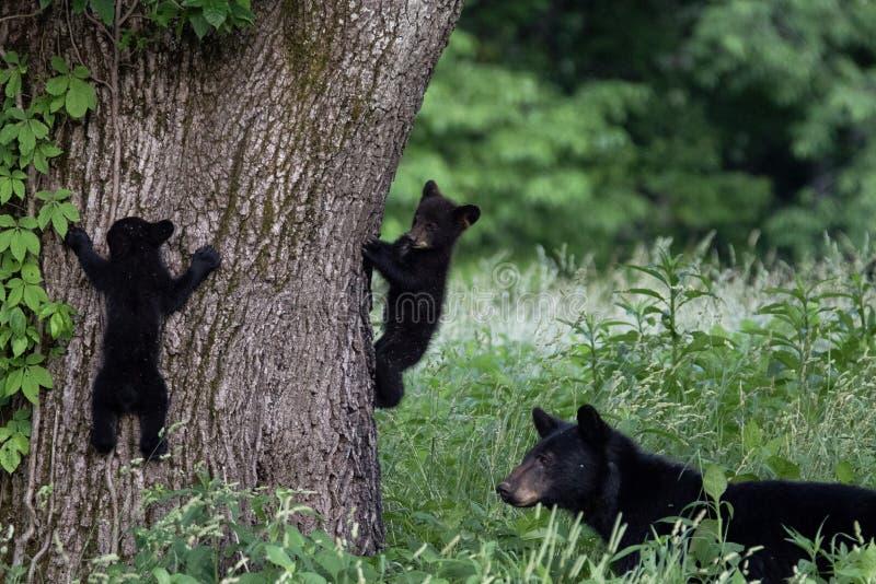 母亲熊和2崽 库存照片