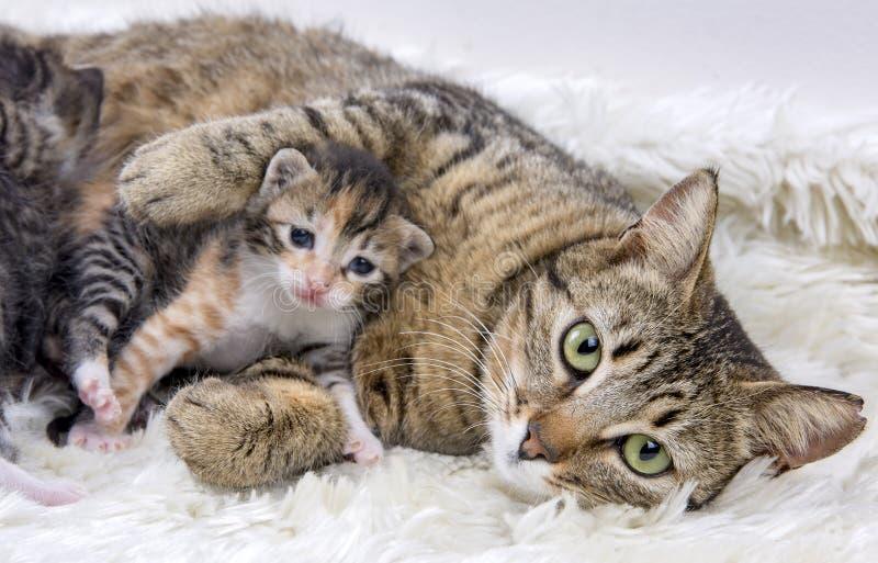 母亲猫和逗人喜爱的小小猫猫 免版税库存图片