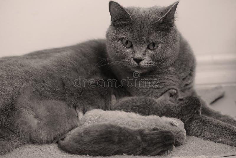 母亲猫照顾她的小猫,第一天 库存照片
