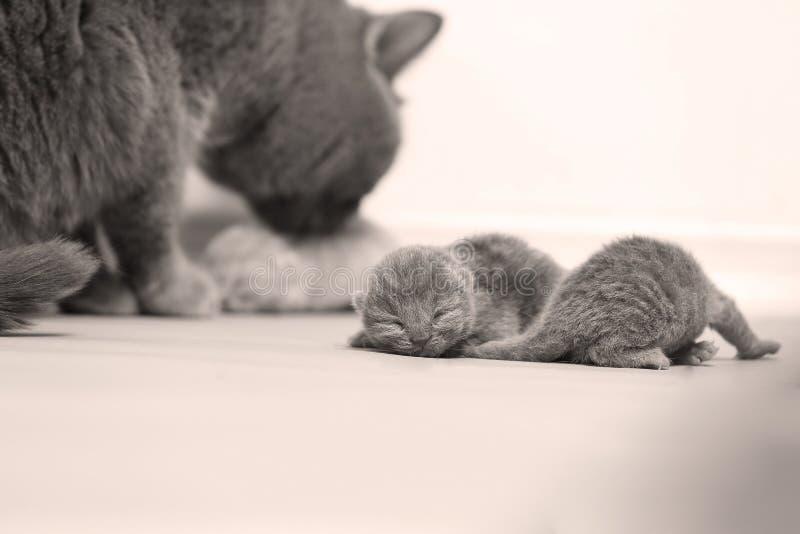 母亲猫照顾她的小猫,第一天 库存图片