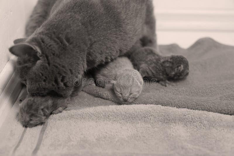 母亲猫照顾她的小猫,第一天 免版税库存图片