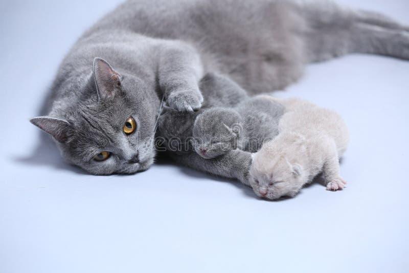 母亲猫照顾她的小猫 免版税库存照片