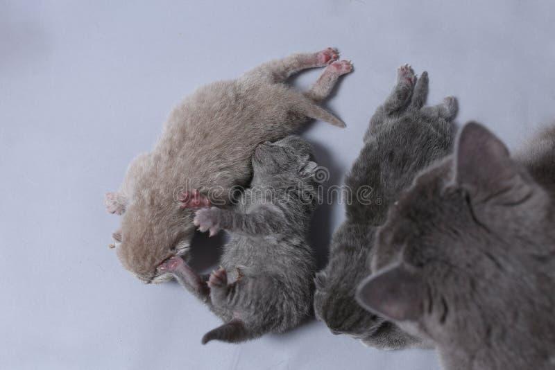 母亲猫照顾她的最近出生的小猫 免版税库存图片