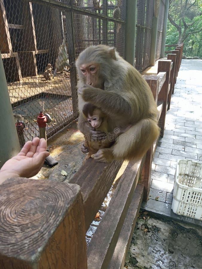 母亲猴子照顾婴孩 免版税库存照片