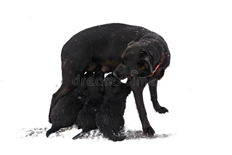 母亲看护小狗 免版税库存照片