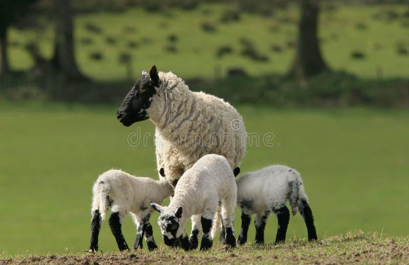 母亲绵羊三胞胎 免版税库存图片