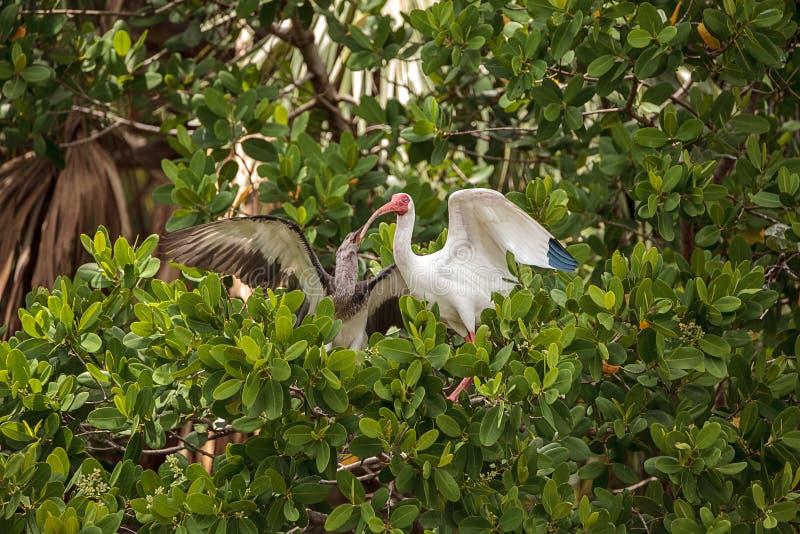 母亲美国白色朱鹭Eudocimus albus喂养少年婴孩 免版税库存图片
