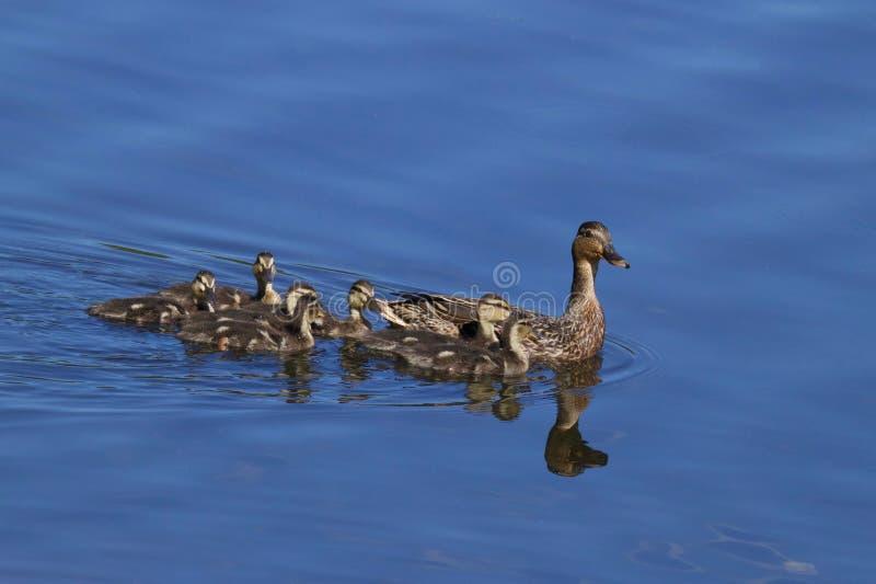母亲野鸭和她的家庭 免版税库存图片
