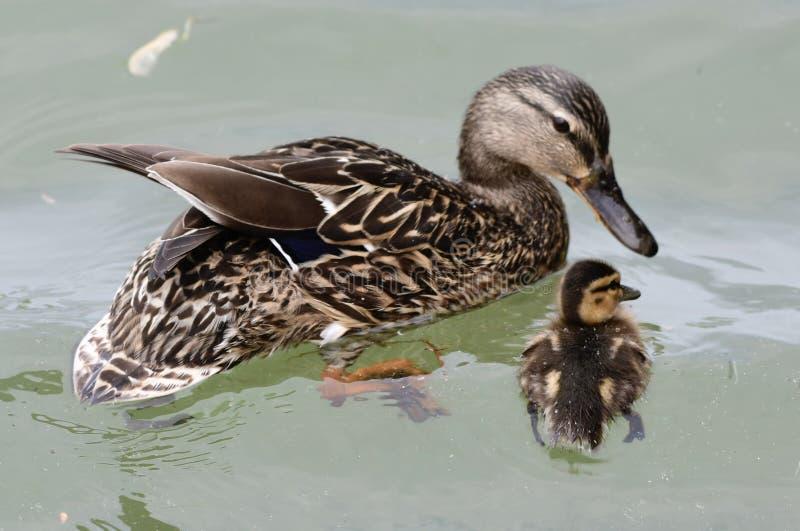 母亲野鸭和她的鸭子 库存图片
