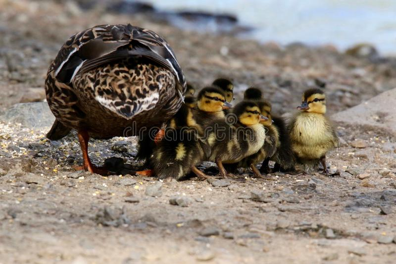 母亲野鸭鸭子用新的鸭子 免版税库存照片