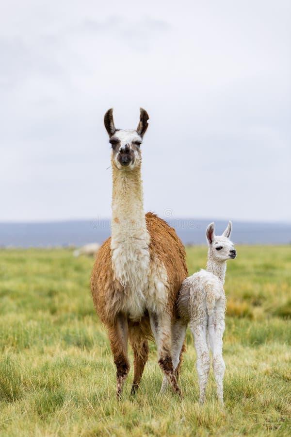 母亲骆马和她的小骆马在Altiplano在玻利维亚 免版税库存图片