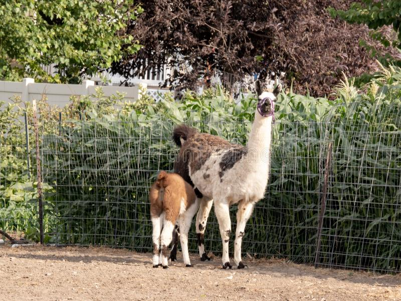母亲骆马护理她的婴孩 库存图片