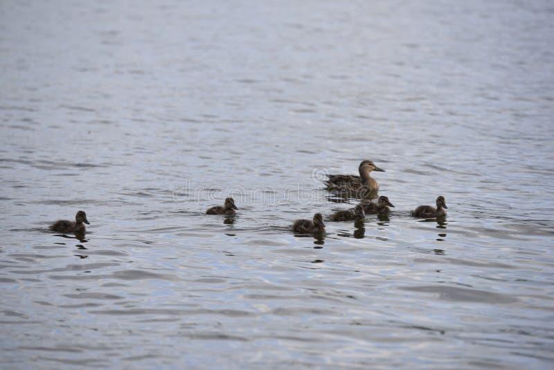 母亲鸭子和她的六只鸭子 免版税库存照片