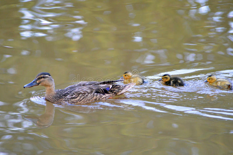母亲鸭子和鸭子 图库摄影
