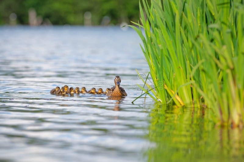 母亲鸭子用在水的鸭子由芦苇 免版税库存图片