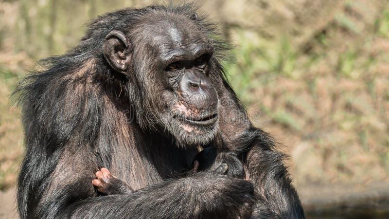 母亲黑猩猩画象与她滑稽的小婴孩的 免版税库存照片