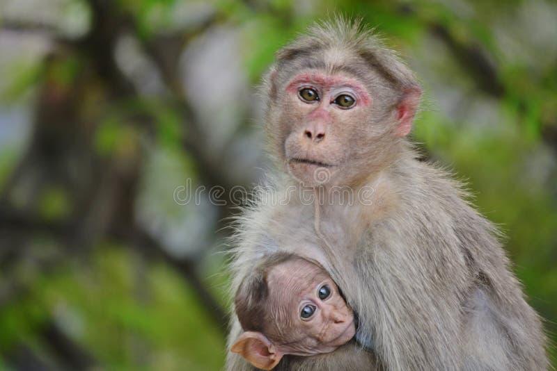 母亲猴子 免版税库存照片