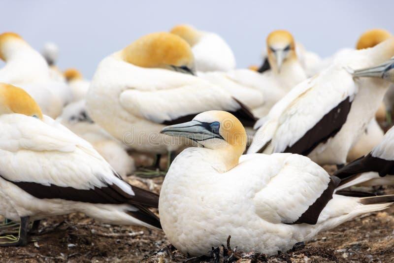 母亲gannet坐保持小鸡的巢温暖 免版税库存照片