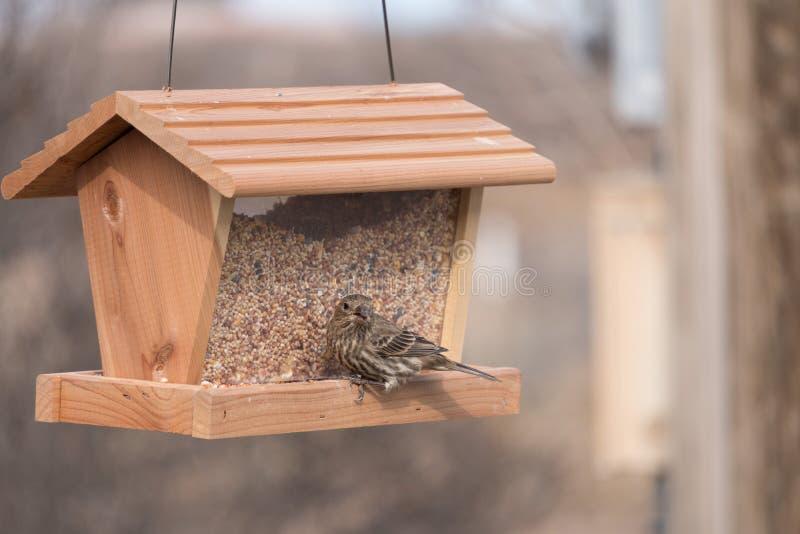 母室内燕雀有膳食在卢纳县新墨西哥 免版税库存照片