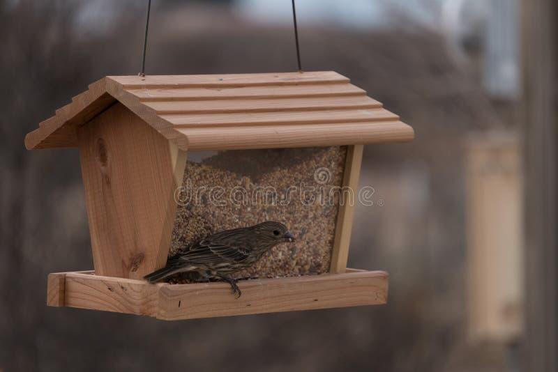 母室内燕雀有膳食在新墨西哥 免版税库存照片