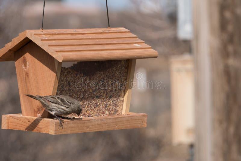 母室内燕雀有膳食在新墨西哥 免版税图库摄影