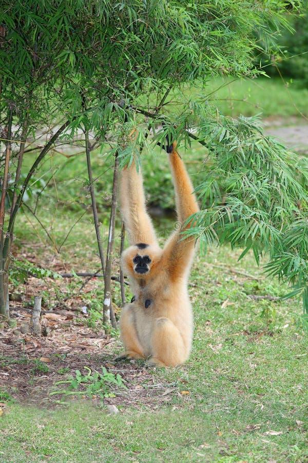 母家神长臂猿在动物园里 库存图片