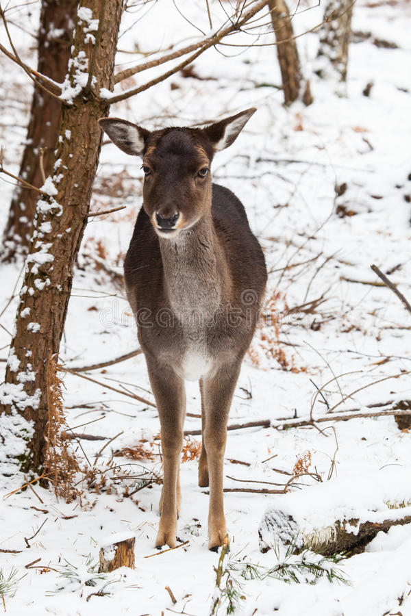 母小鹿在冬天森林里 免版税库存图片