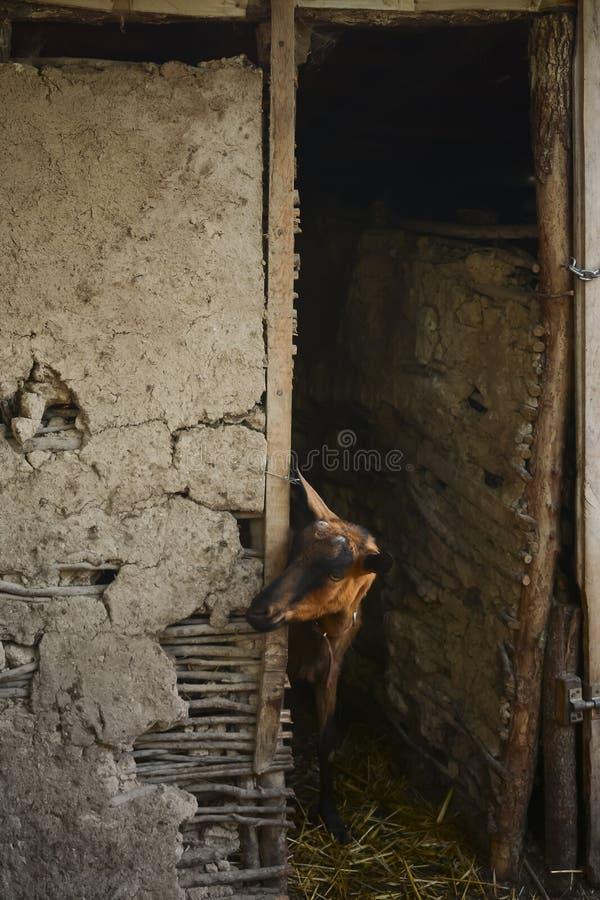 母山羊画象在谷仓 免版税库存图片