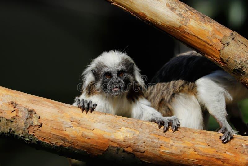 母成人棉花头等的绢毛猴一小新的世界monkeyon树干 免版税库存图片