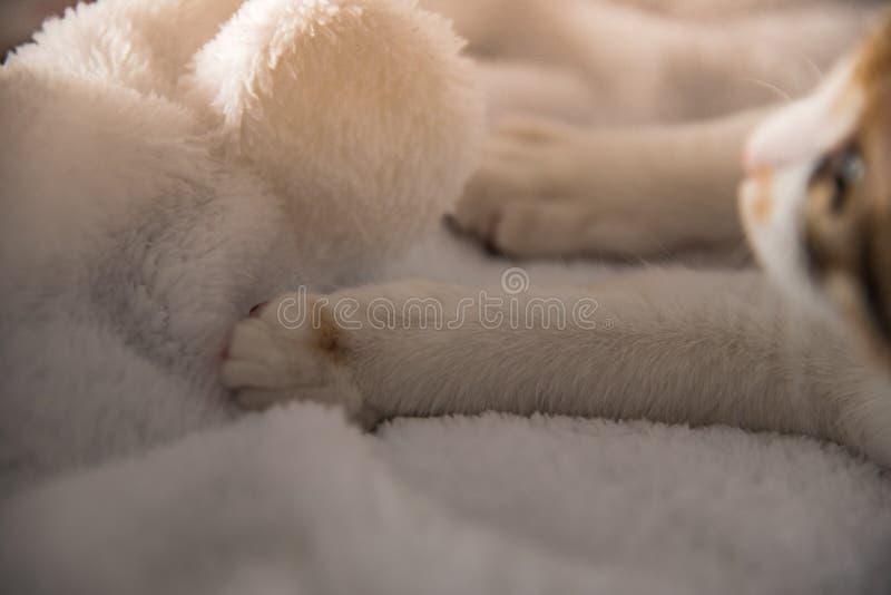母杂色猫在一条白色毯子,关闭醒  库存图片
