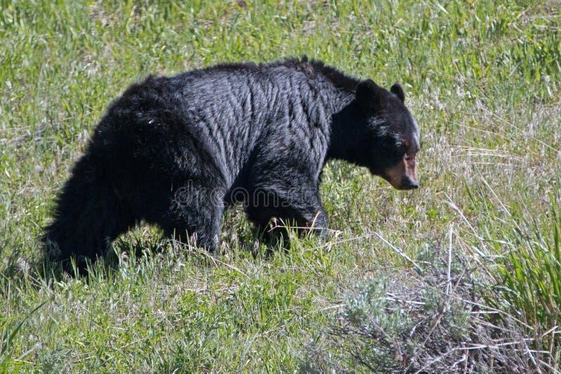 母母猪美国黑熊[美洲的熊属类]在罗斯福小屋附近在黄石国家公园在怀俄明美国 库存图片