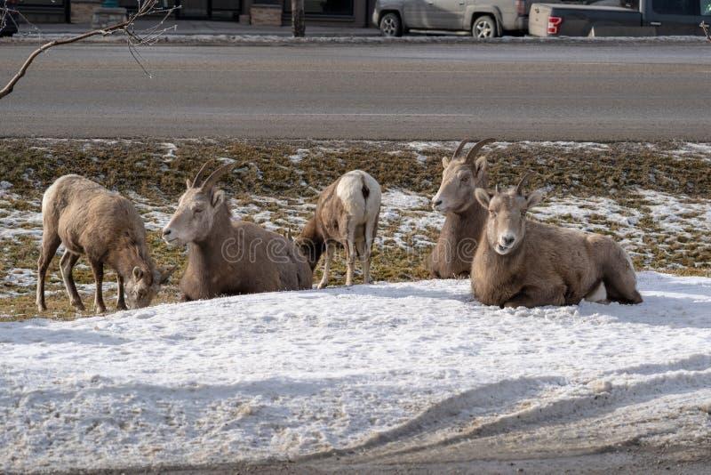 母母羊大角野绵羊牧群会集,吃草和放松在路旁垄沟在镭温泉城英国的冬天期间 免版税图库摄影