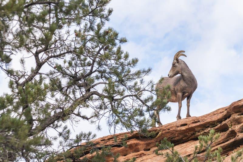母沙漠大角野绵羊在锡安国家公园 犹他 美国 库存照片