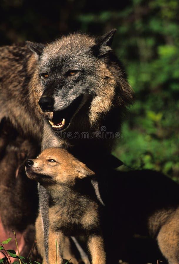 母灰色小狗狼 免版税库存图片