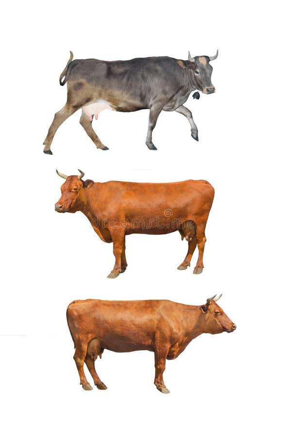 母牛三 库存图片