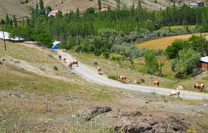 母牛从牧场地,锡瓦斯,土耳其回来在家 免版税库存照片