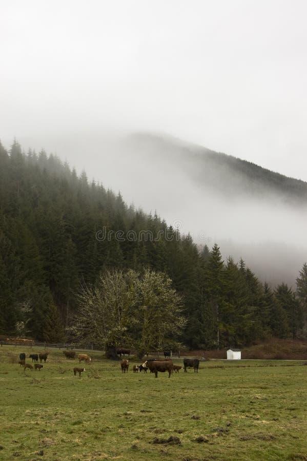 母牛农场华盛顿