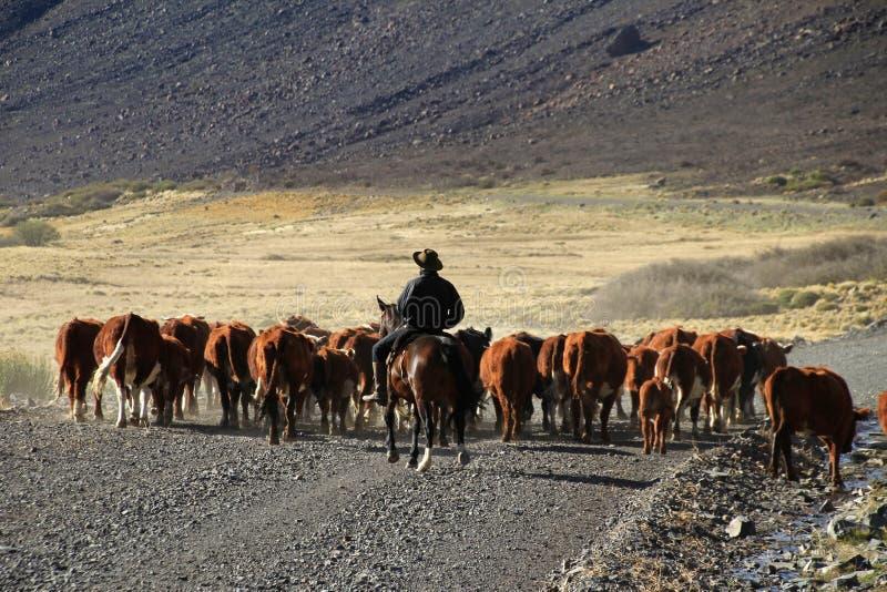 母牛印第安人混血儿和牧群在阿根廷 免版税图库摄影