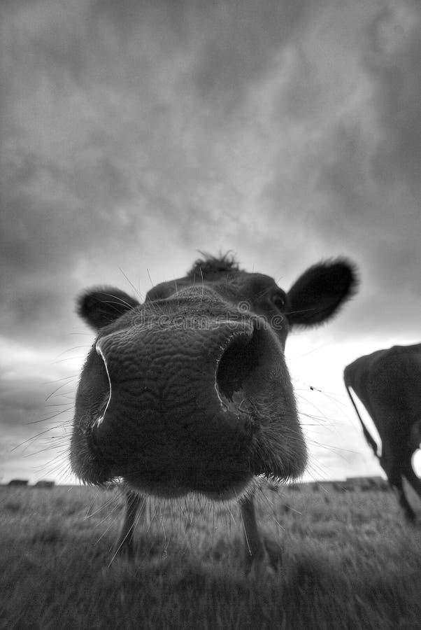 母牛口鼻部 图库摄影
