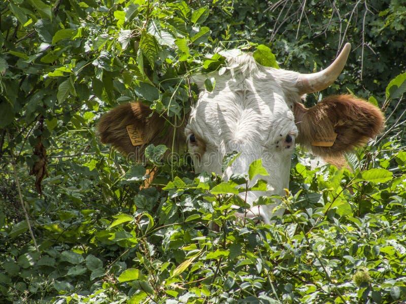 母牛吃吃草在牧场地的草 皇族释放例证