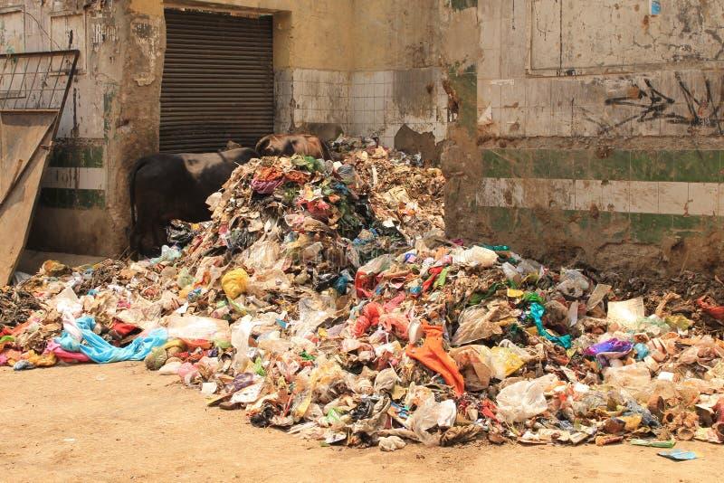 母牛吃废物 库存照片