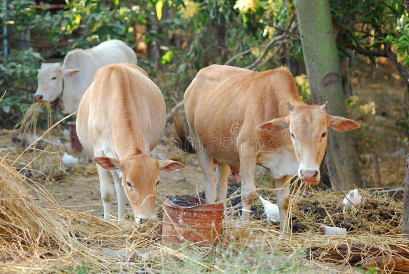 母牛吃着秸杆 免版税库存图片
