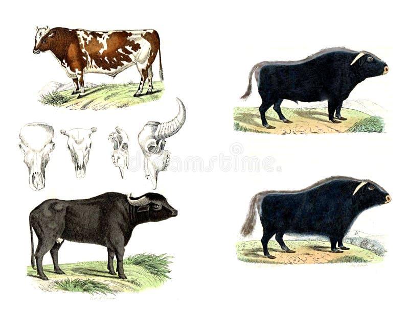 母牛和公牛 彩色插图 皇族释放例证