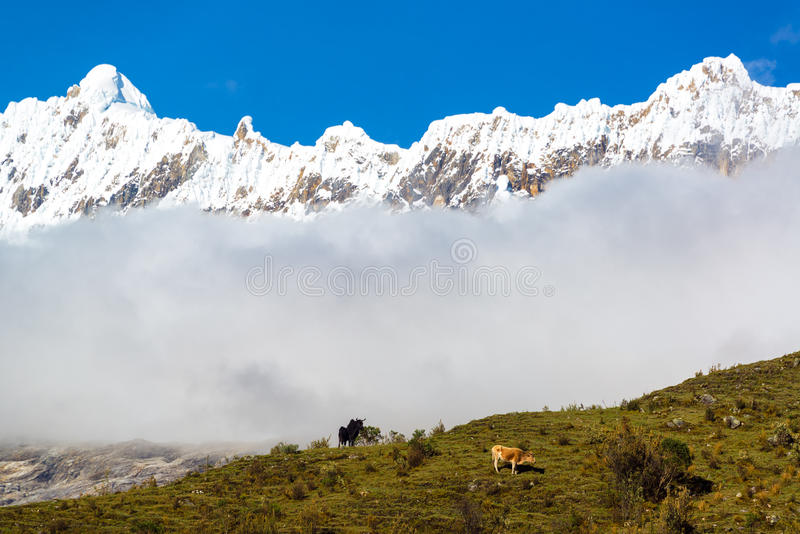 母牛和安第斯山脉 库存照片