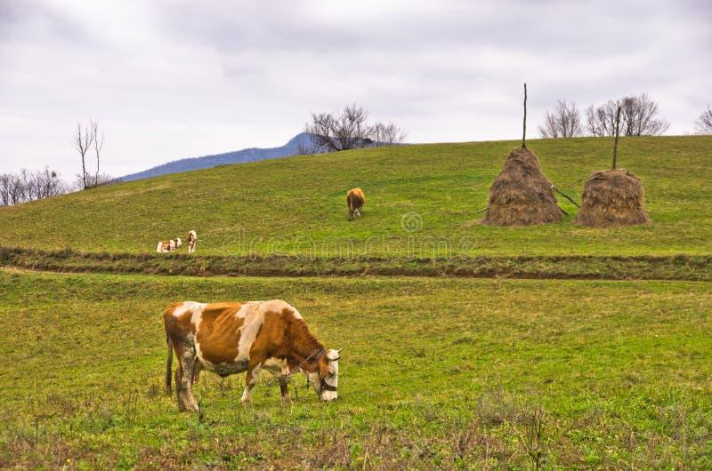 母牛和小牛在一个牧场地山草甸的 免版税库存图片