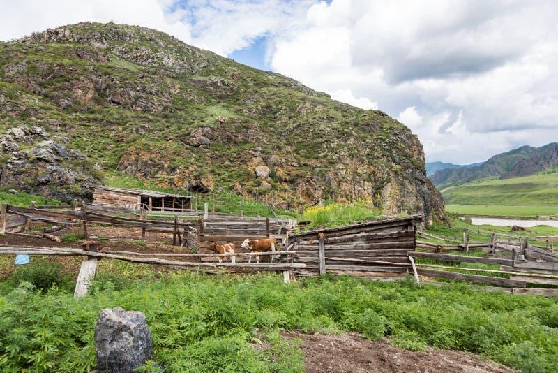 母牛和小牛在小牧场,村庄生活,阿尔泰,俄罗斯 免版税库存照片