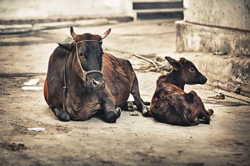 母牛和小牛在街道上。印度,乌代浦 免版税库存图片